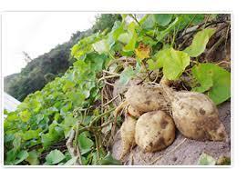 新島あめりか芋栽培